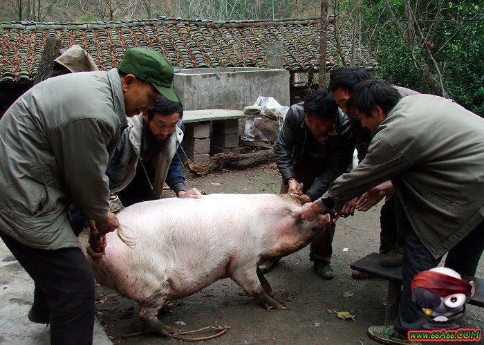الخنازير وتقرير